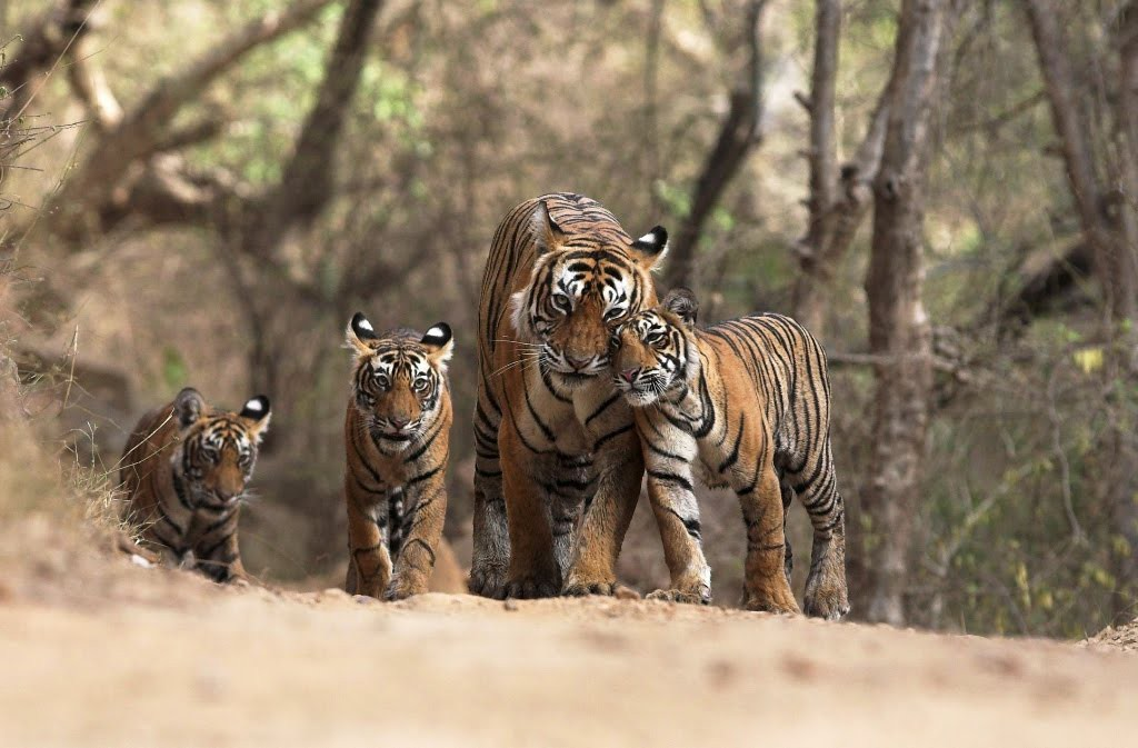 indian-tigers.bigcats.in_